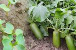蔬菜加强栽培管理控草